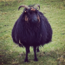 Pissed off pregnant sheep with long, curved horns.